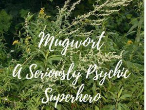 Herblore and historical uses for Mugwort in healing and herbal medicine